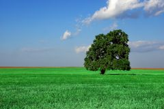 Single Old Tall Oak Tree On The Summer Field Royalty Free Stock Photo