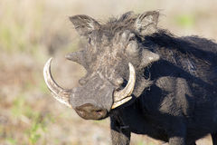 Single old Warthog with huge teeth portrait Stock Images
