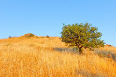 Single olive tree Stock Image