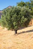Single olive tree in Calabria royalty free stock photo