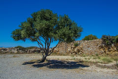 Single olive tree Stock Photos