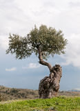 Single Olive tree Royalty Free Stock Images