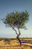 Single Olive Tree Stock Photos