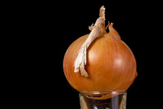 Single Onion on a glass Royalty Free Stock Photography