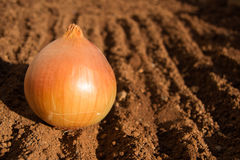 Single Onion Stock Photo