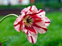 "Single open ""Flaming Parrot"" hybrid tulip. Stock Image"