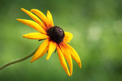 Free Single Orange Black-Eyed Susan Eith A Soft Green Background. Royalty Free Stock Images - 95747889