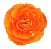 Single orange buttercup. Isolated on white background Royalty Free Stock Photography