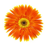 Single orange chrysanthemum (gerbera) isolated on white background Royalty Free Stock Images