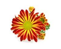 Single orange chrysanthemum gerbera isolated on white background Royalty Free Stock Photo