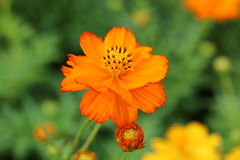 Single orange cosmos flower. Close-up of a single orange cosmos flower Stock Images