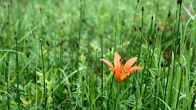 Single orange day lily daylily in green forest setting. Waving gently in the breeze stock video footage