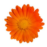 Single orange flower Royalty Free Stock Photography