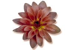 Single orange flower isolated royalty free stock photo