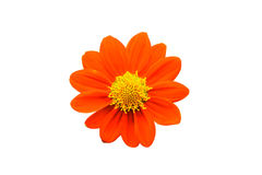 The Single orange flower isolated on white background Stock Photo