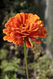 Single orange flower on  long stalk Royalty Free Stock Photo