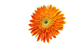 Single orange flower on white Royalty Free Stock Photography