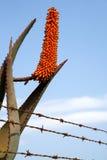 Single orange flowering african aloe. Single orange flowering aloe behind rusty barbed wire fence Stock Images