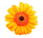 Single orange gerbera flower Stock Photography