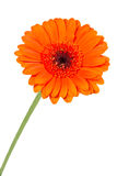 Single orange gerbera flower closeup Royalty Free Stock Photo