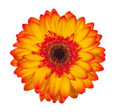 Single orange gerbera flower isolated on white background Stock Image