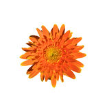 Single orange gerbera flower isolated on white background Royalty Free Stock Photography