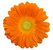 Single orange gerbera Royalty Free Stock Images