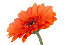 Single orange gerbera flower, shallow DOF Royalty Free Stock Photography