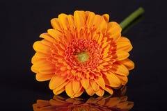 Single orange gerbera isolated on black background Royalty Free Stock Images
