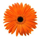 Single orange gerbera isolated on white background