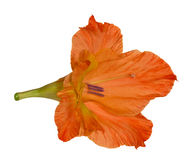Single orange gladiolus flower on white Stock Images