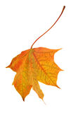 Single orange isolated fall maple leaf Royalty Free Stock Images