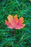Single orange leaf fallen on green grass. And cloverleaf Stock Images