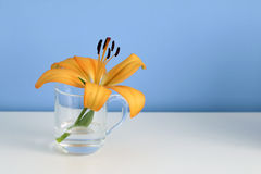 Single orange liliy in a glass of clear water, purity or freshness concept Royalty Free Stock Image