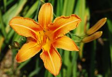 Single Orange Lily. An orange lily flower, growing wild in north east Italy Royalty Free Stock Photography