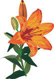 Single orange lily flower on white Royalty Free Stock Photo