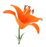 Single orange lily Royalty Free Stock Images