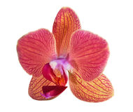 Single orange and pink orchid flower Royalty Free Stock Images