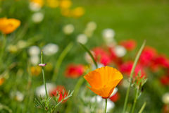 A single orange poppy Stock Photo
