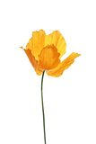 Single orange poppy on white background Stock Photo