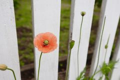 Single Orange Red Poppy Flower Growing Against White Picket Fence royalty free stock images