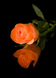 Single orange rose Royalty Free Stock Photos