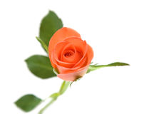Single orange rose. Isolated on white background stock photography