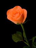 Single orange rose Stock Photos