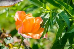Single orange rose with blurred leaves Royalty Free Stock Photos