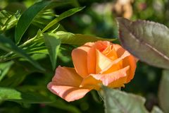 Single orange rose with blurred leaves Stock Photography