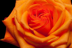 Single orange rose Stock Image