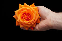 single orange rose Royalty Free Stock Photography