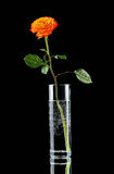 Single orange rose in glass vase Stock Image
