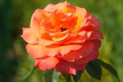 Single orange rose on green natural background. Single orange rose on green, natural background royalty free stock photo